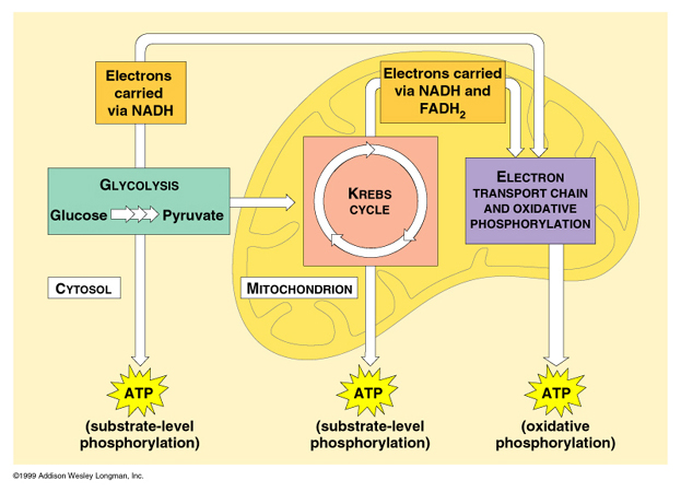 cellular respiration is the process of Glycolysis is the process of breaking down glucose into two molecules of pyruvate it produces atp and is the first stage of cellular respiration.